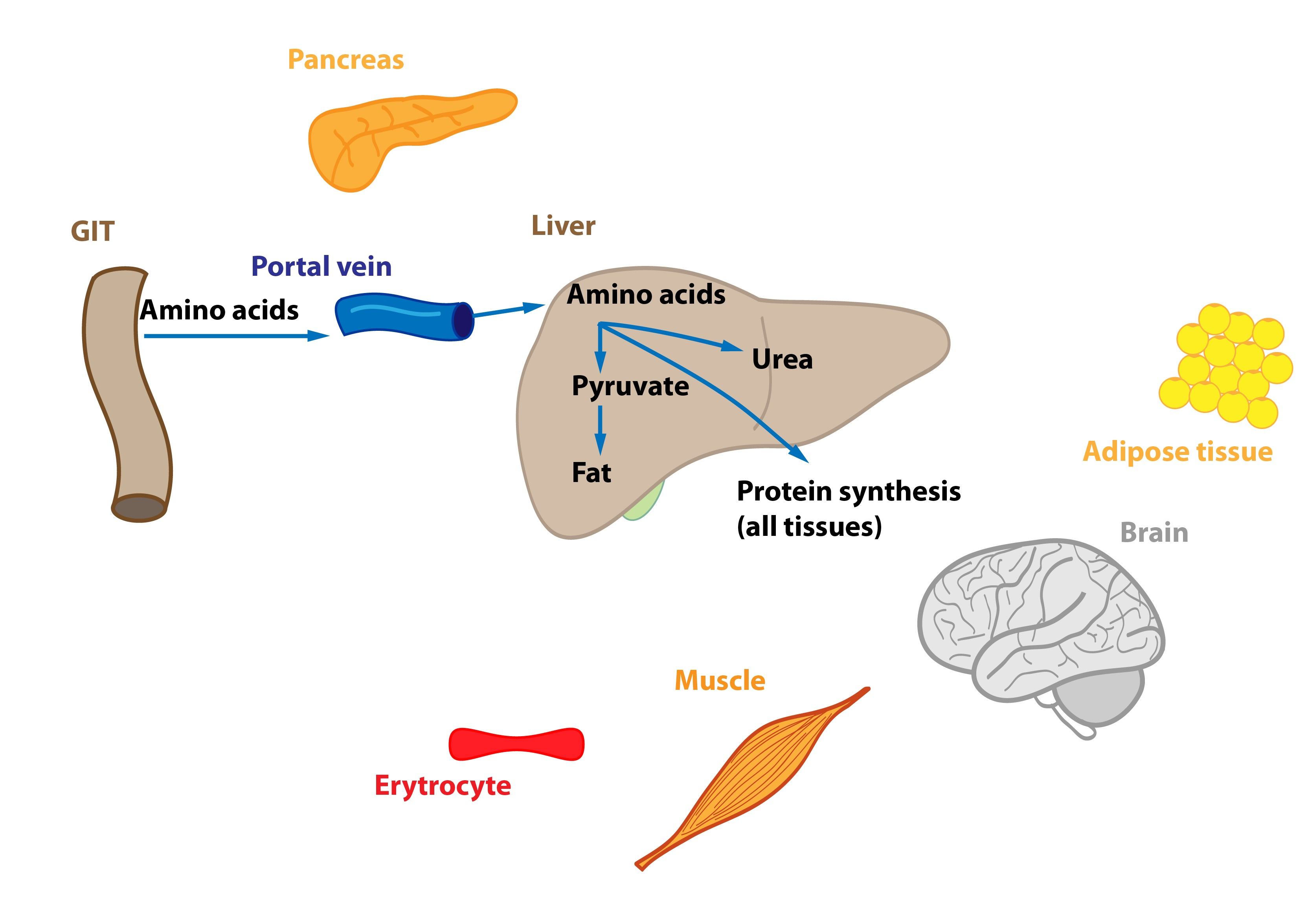 5 Relations In The Intermediary Metabolism Functions Of Cells And