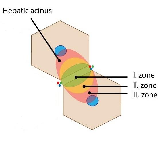 Acinus zony ENG
