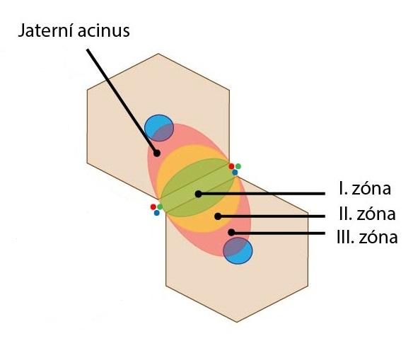 Acinus zony
