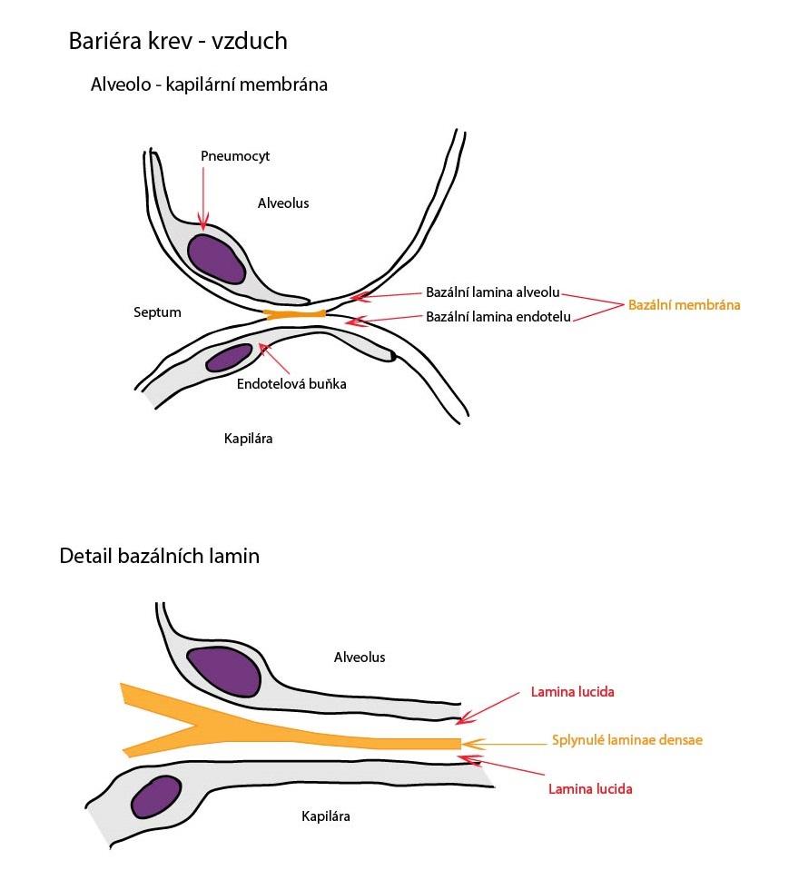 Alveolo - kapilarni membrana-01