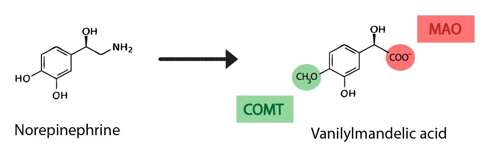 Degradace katecholaminu ENG-01