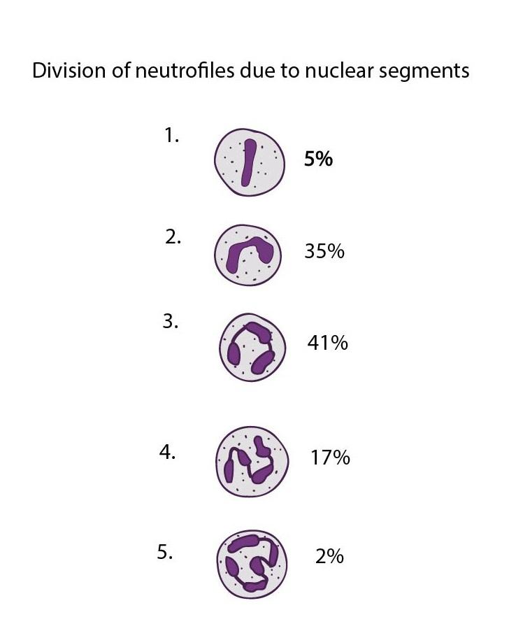 Deleni neutrofilu dlejadernych segmentu ENG-01