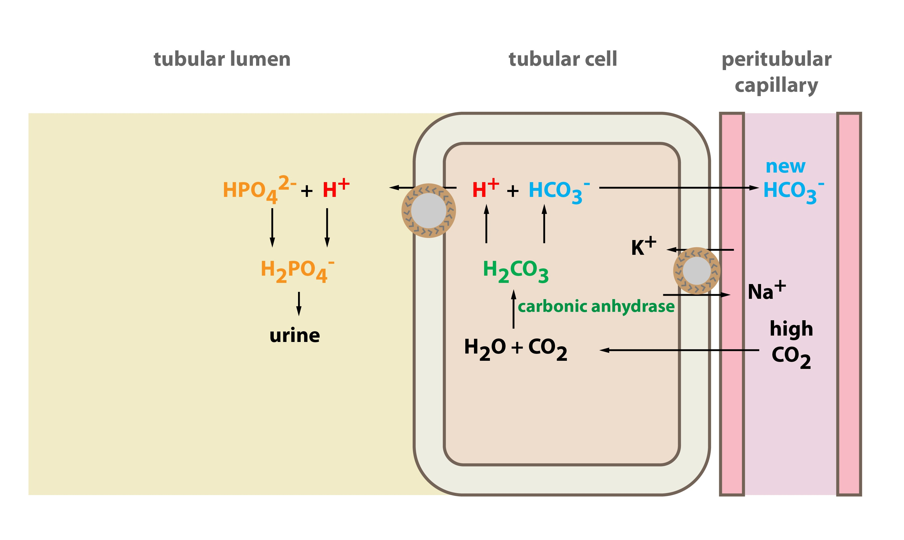 hydrogen phosphate buffer systems The three major buffer systems of our body are carbonic acid bicarbonate buffer system, phosphate buffer system and protein buffer system the body's chemical buffer.