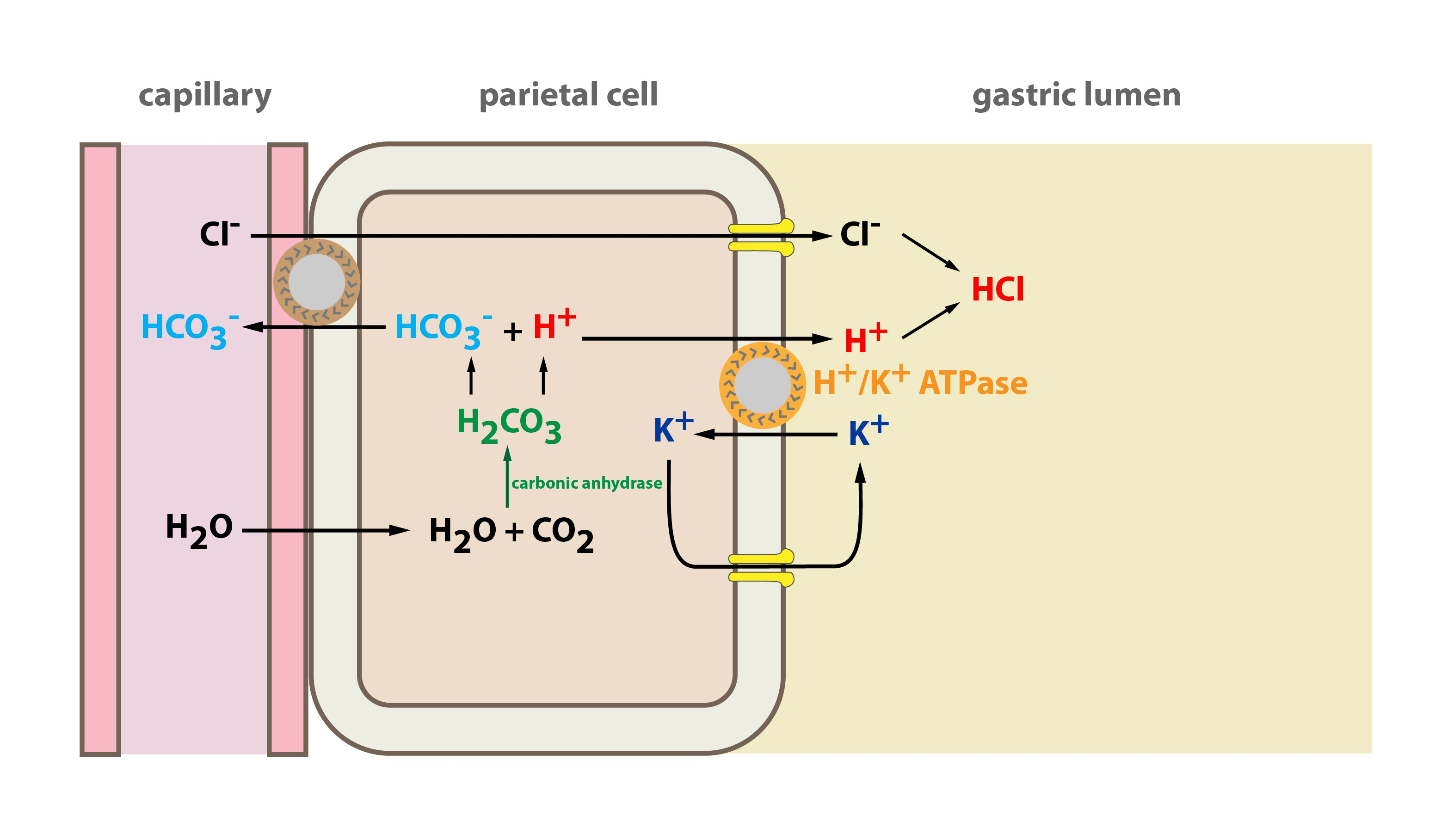 3 compartmentalisation of metabolic pathways functions of cells kapitola 09 03 eng 01 pooptronica