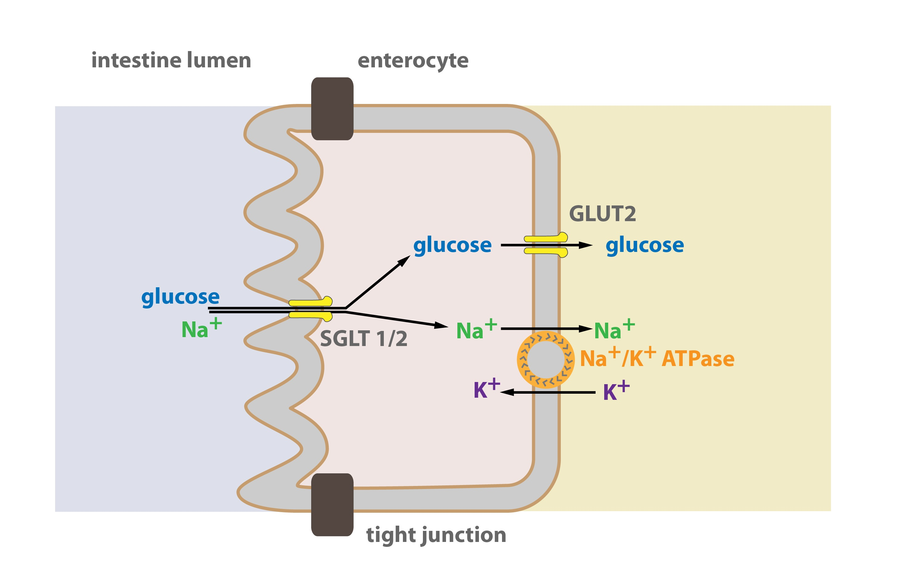 atp resynthesis Clin exp pharmacol physiol 1992 feb19(2):79-87 relationship between atp resynthesis and calcium accumulation in the reperfused rat heart hasin y(1), kneen mm, craik dj, nayler wg author information: (1)department of medicine, university of melbourne, austin hospital, heidelberg, victoria, australia 1.