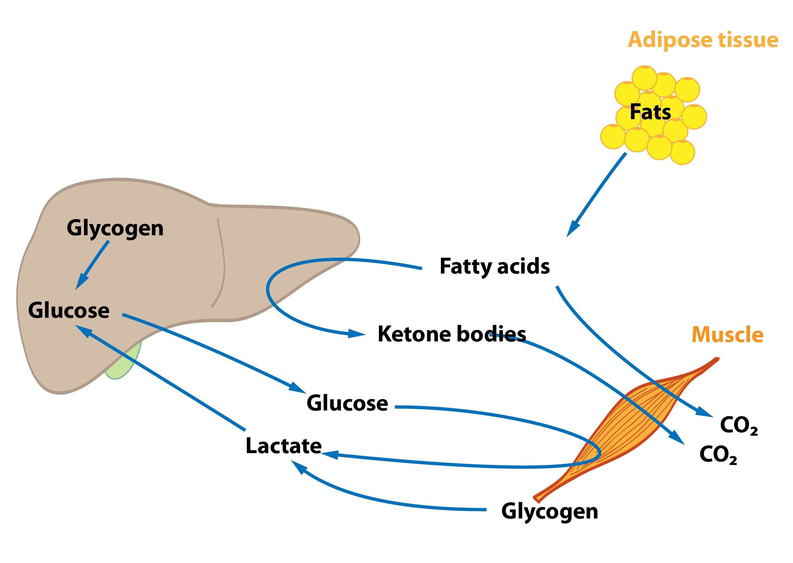 energy and metabolism Metabolism: metabolism, the sum of chemical reactions that take place in living cells, providing energy for life processes and the synthesis of cellular material.