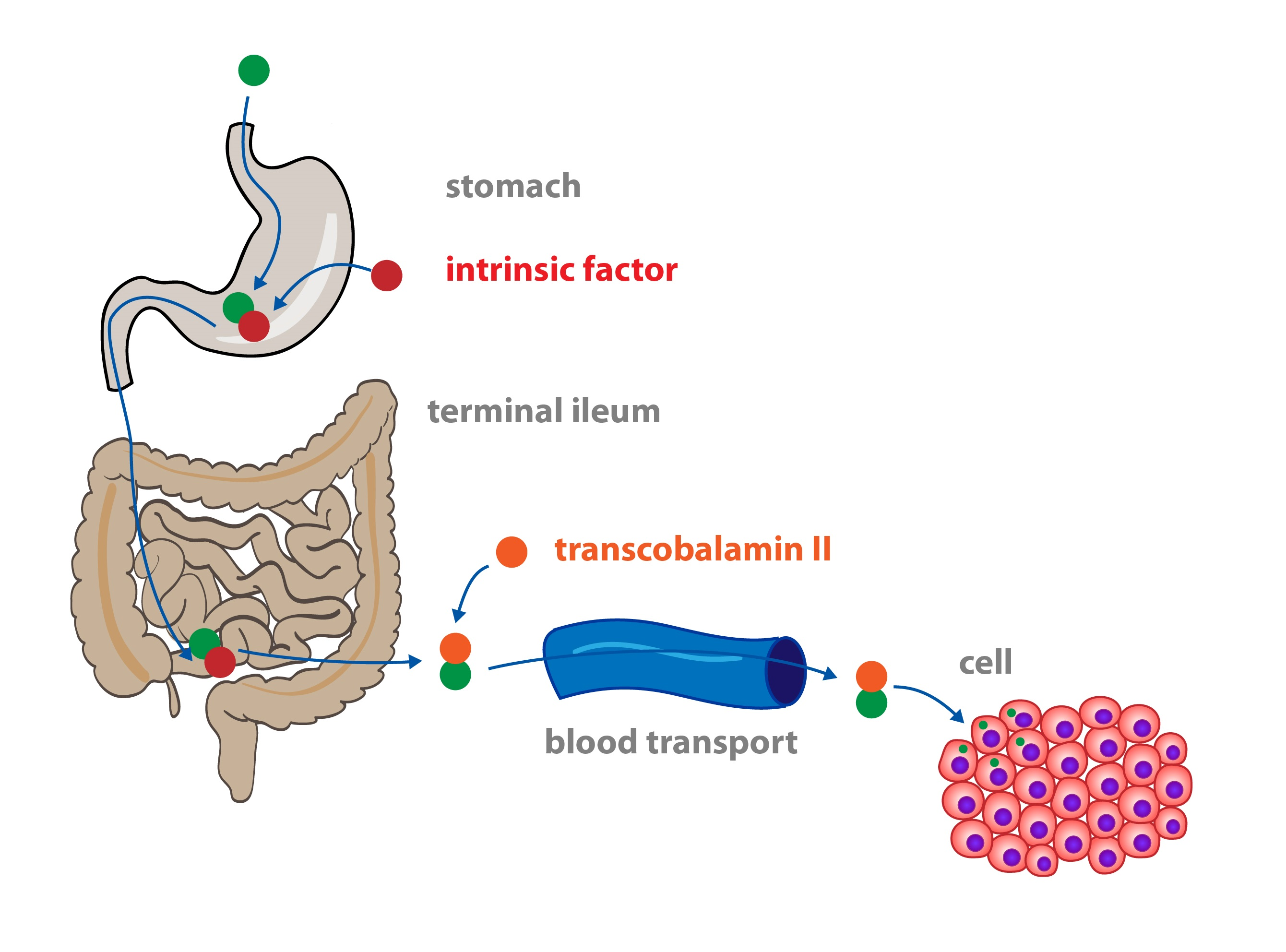6. Vitamins and Nutrition • Functions of Cells and Human Body
