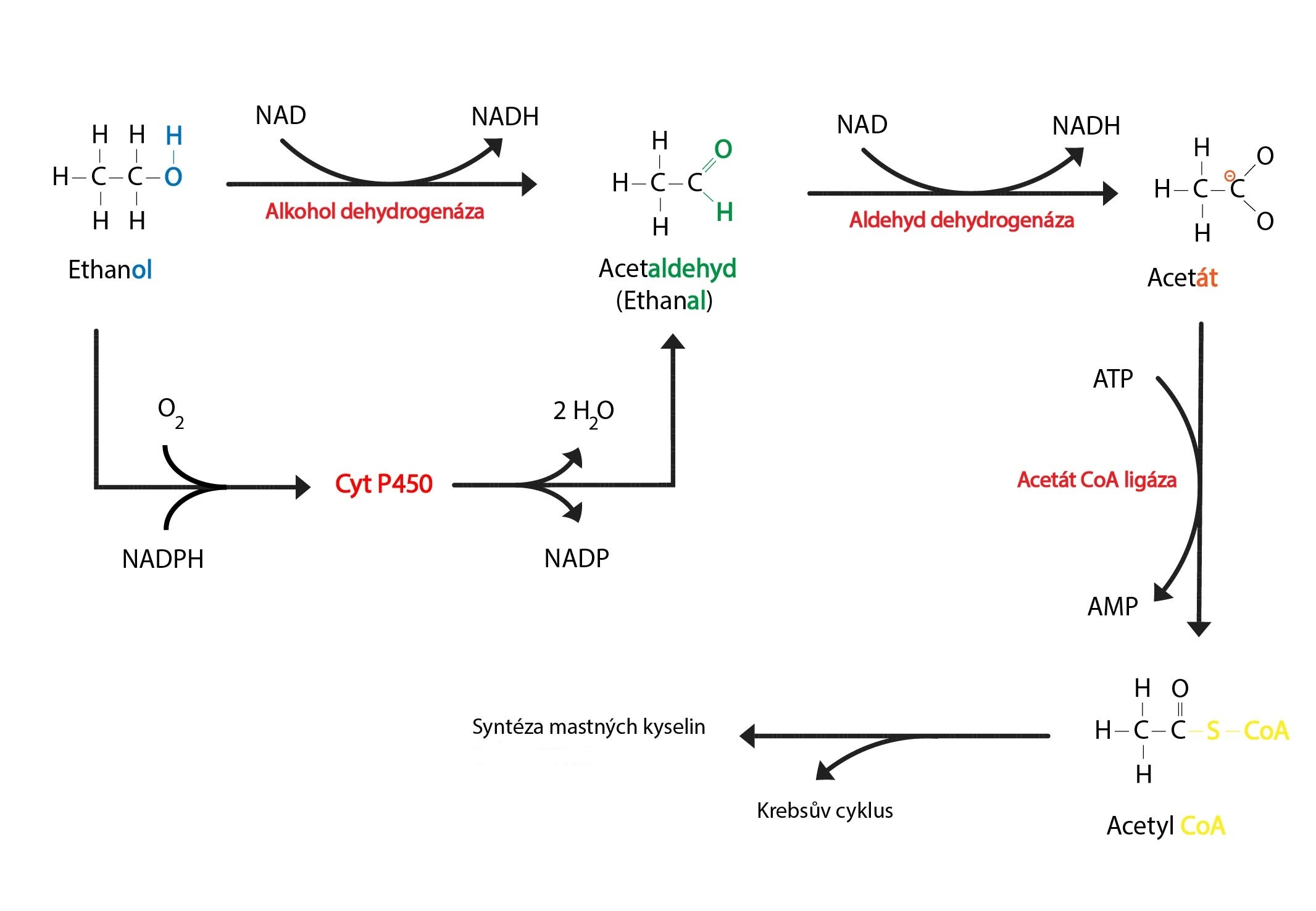 Metabolismus ethanolu CZ-01