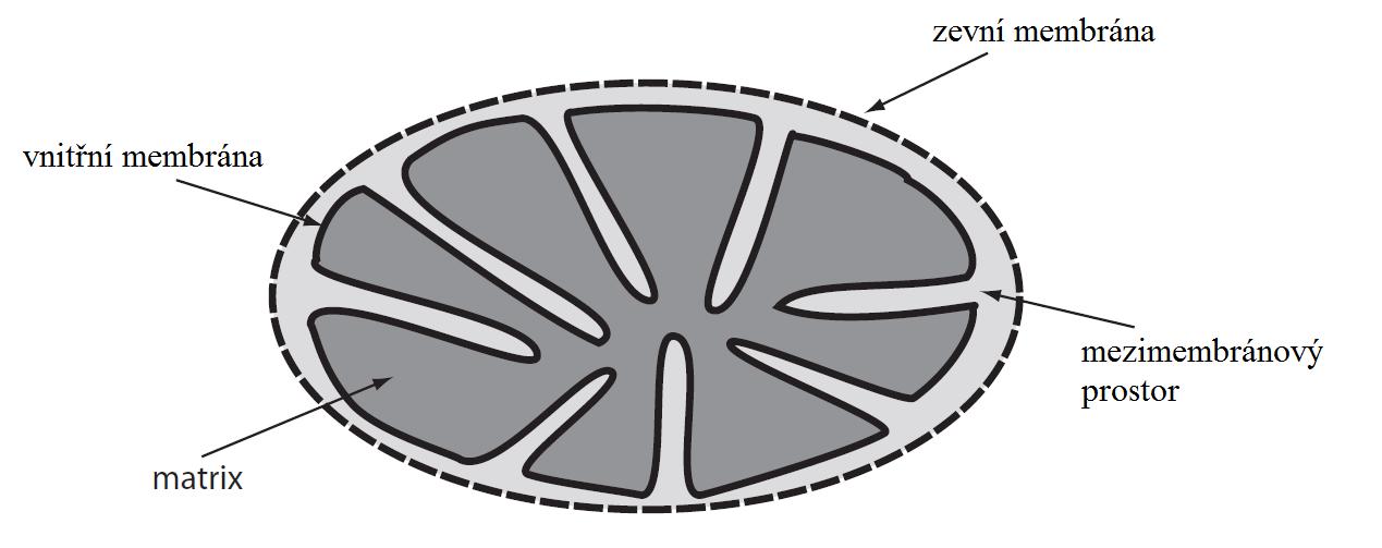 Mitochondrie cj