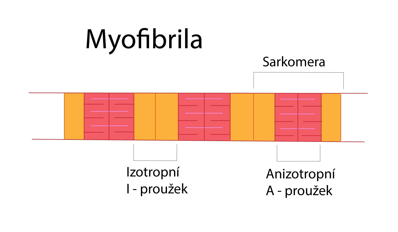 Myofibrila-01