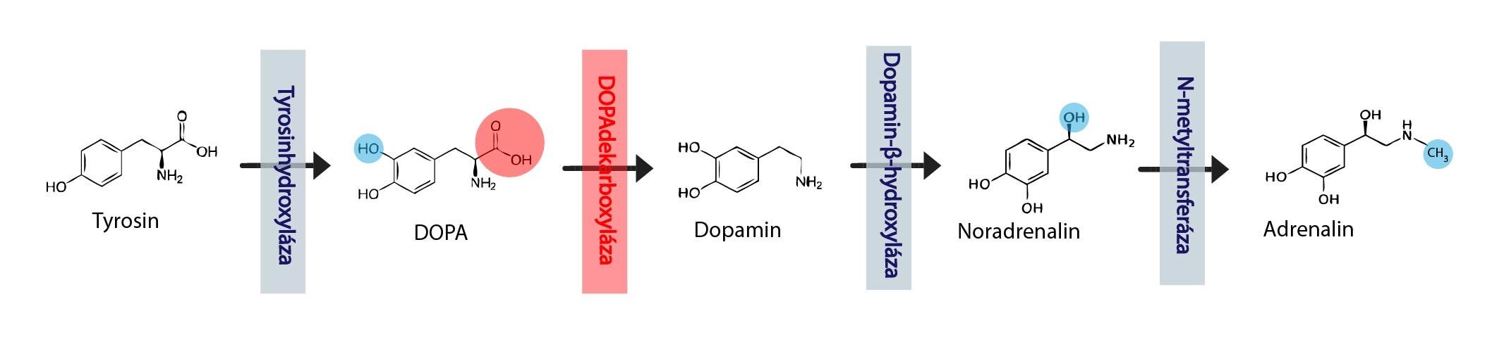 Synteza katecholaminu-01