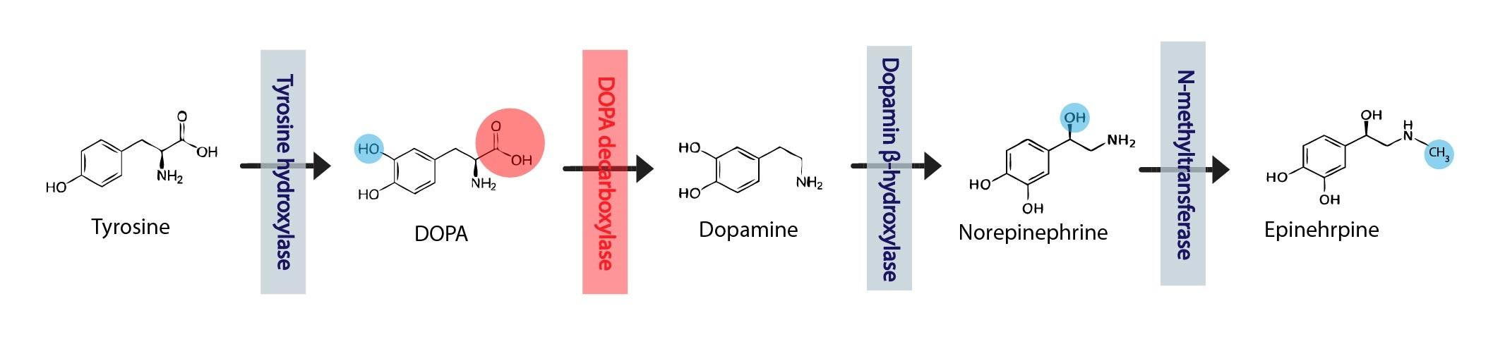 Synteza katecholaminu ENG-01