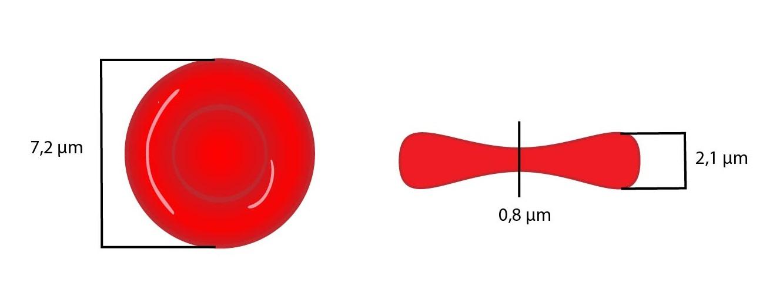 erytrocyt-01