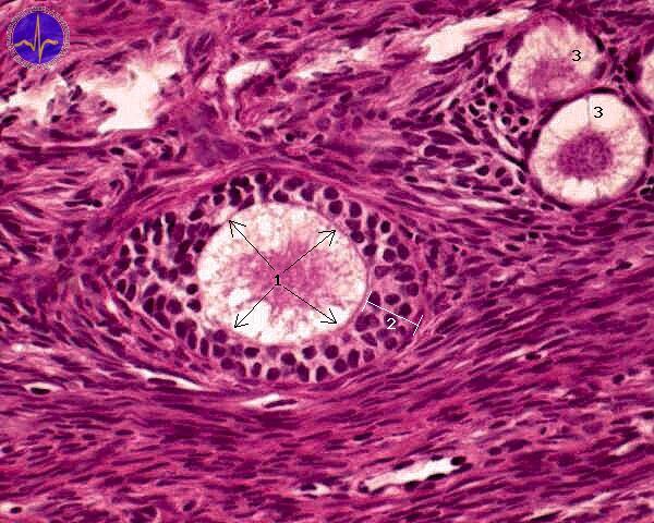 primární folikul