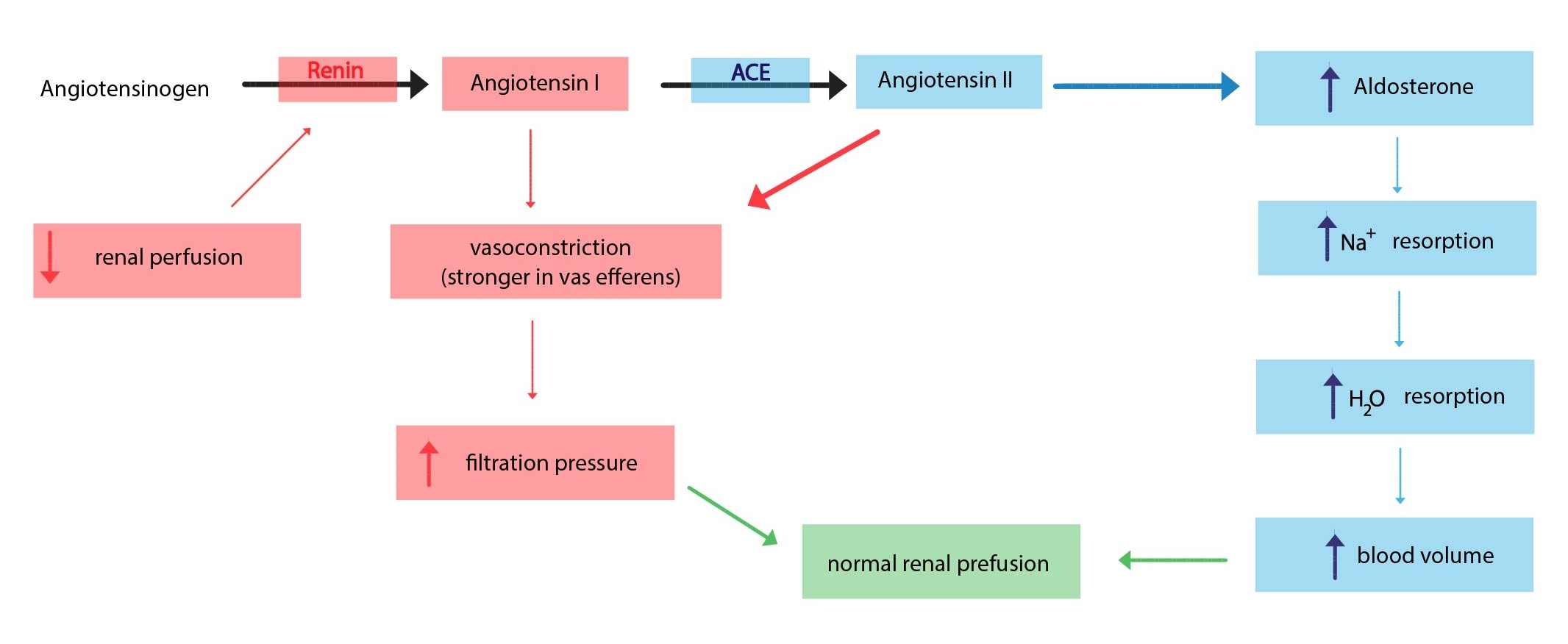 Water excretion is regulated by the: