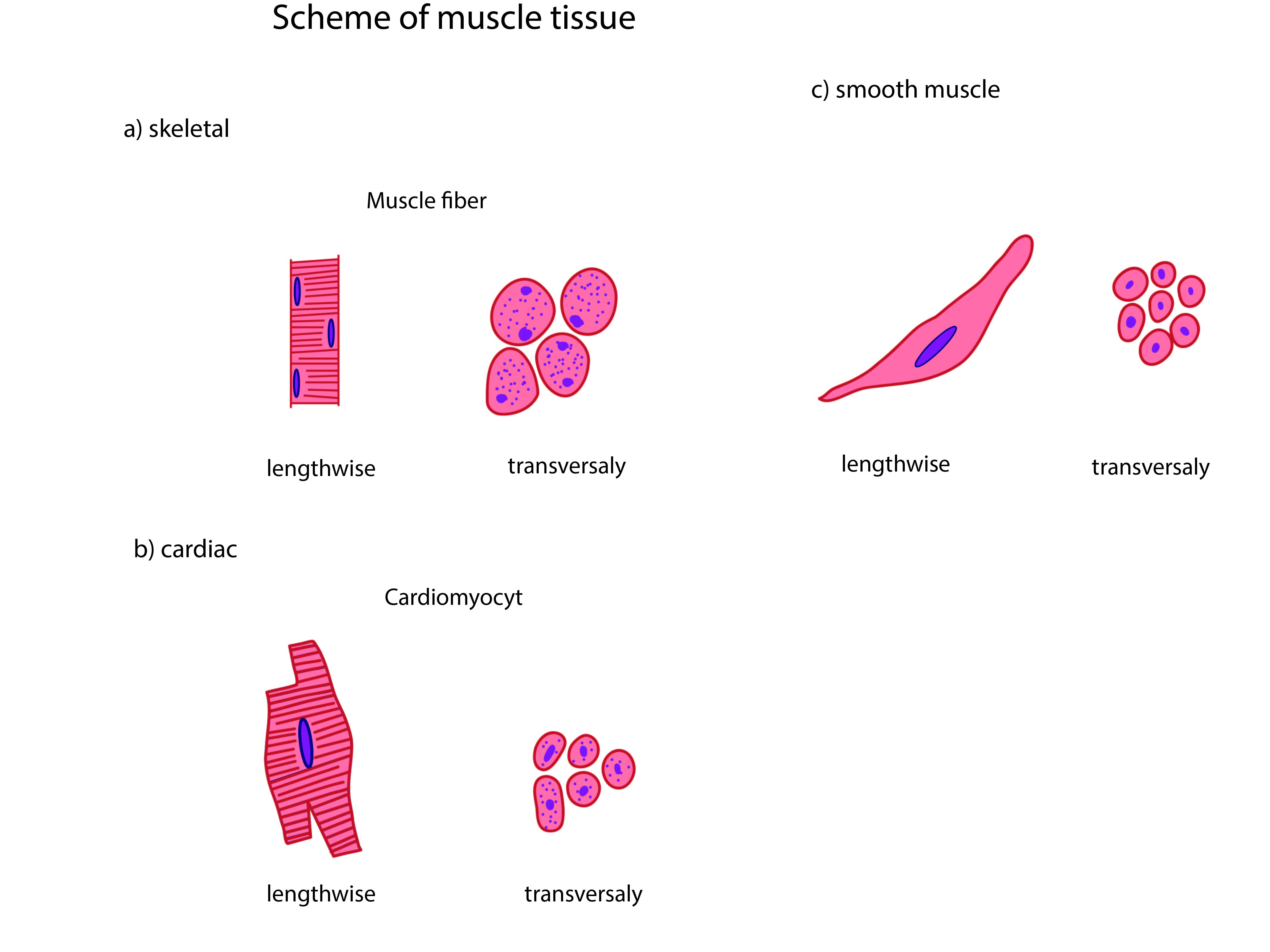 5. functional morphology of muscles • functions of cells and human, Muscles