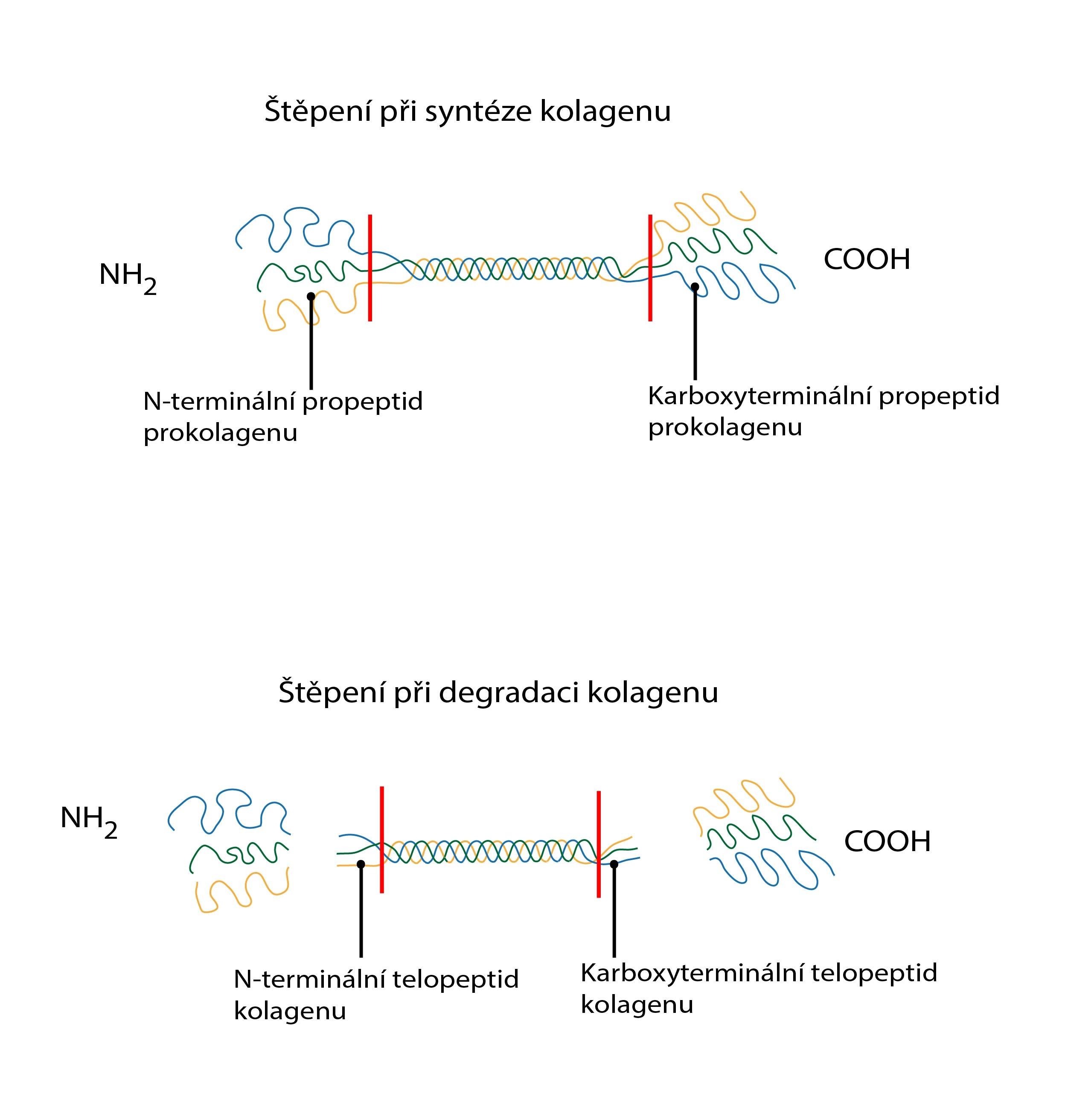 stepeni pri synteze kolagenu-01