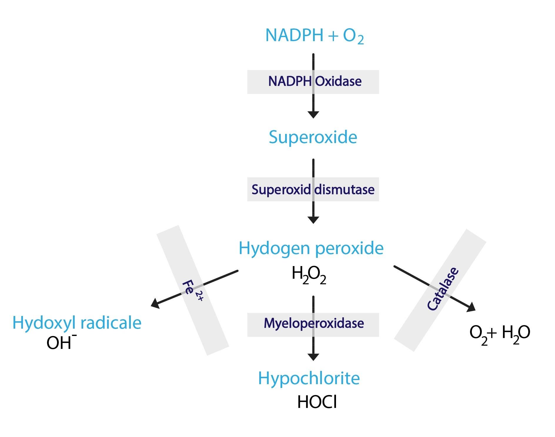 tvorba reaktivnich forem kyslku ENG-01
